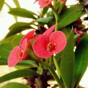 铁海棠的养殖方法