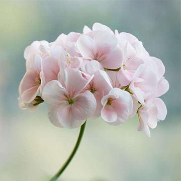 天竺葵的养殖方法