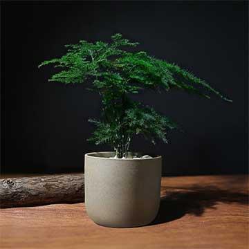 云竹的养殖方法