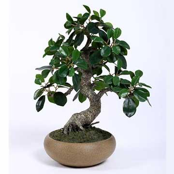 榕树的养殖方法