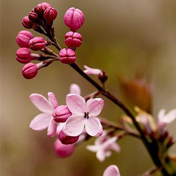 丁香花的养殖方法