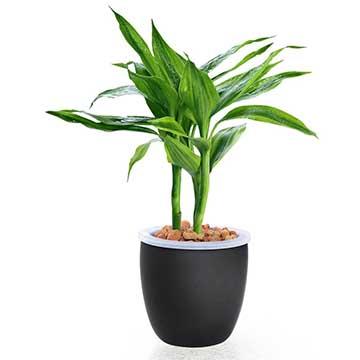 富贵竹的养殖方法