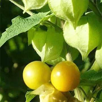 灯笼果的养殖方法