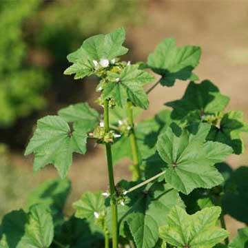 冬葵的养殖方法
