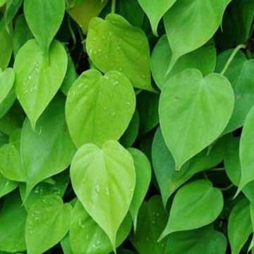 心叶藤的养殖方法