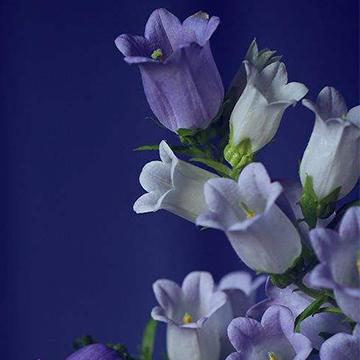 风铃草的花语是什么