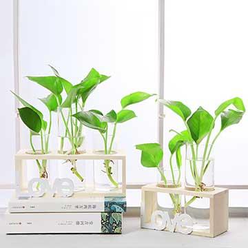 水培绿萝的养殖方法