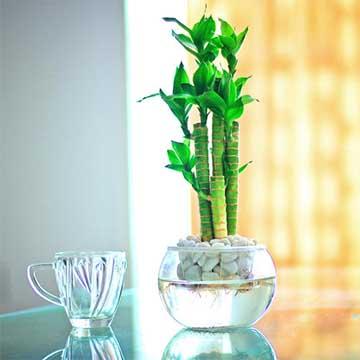 水培富贵竹叶子发黄