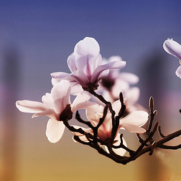 玉兰花的花语