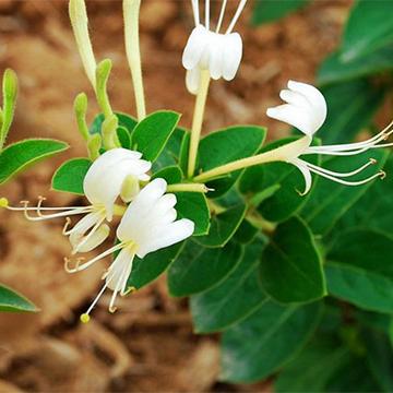 金银花的病虫害防治