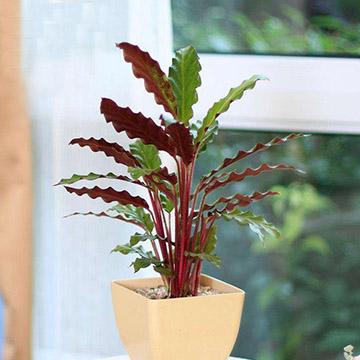 紫背竹芋的养殖方法