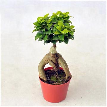 人参榕的养殖方法
