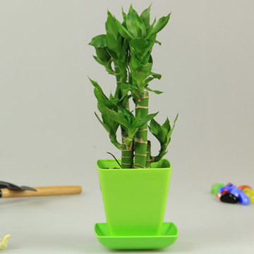 荷花竹的养殖方法