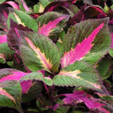 紫苏的养殖方法