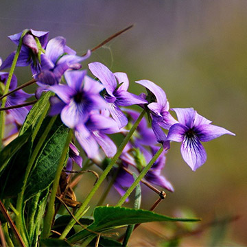 紫花地丁叶斑病