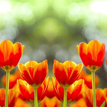 郁金香的花语