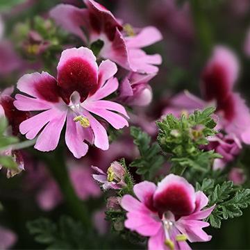 娥蝶花的养殖方法