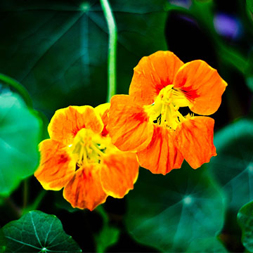 旱金莲的播种方法