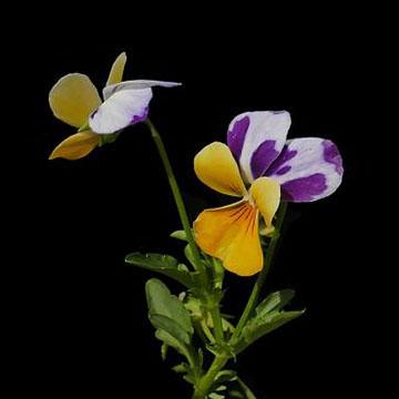 角堇的繁殖方法