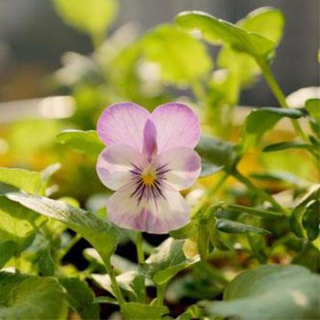 角堇开花怎么养护