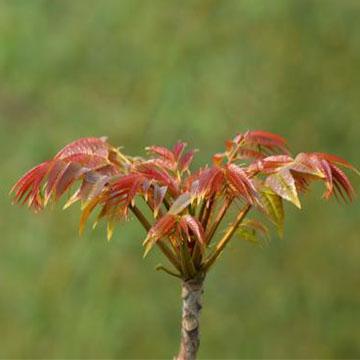 香椿树的养殖方法