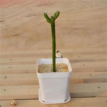 光棍树的养殖方法