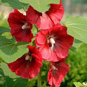 蜀葵花的养殖方法