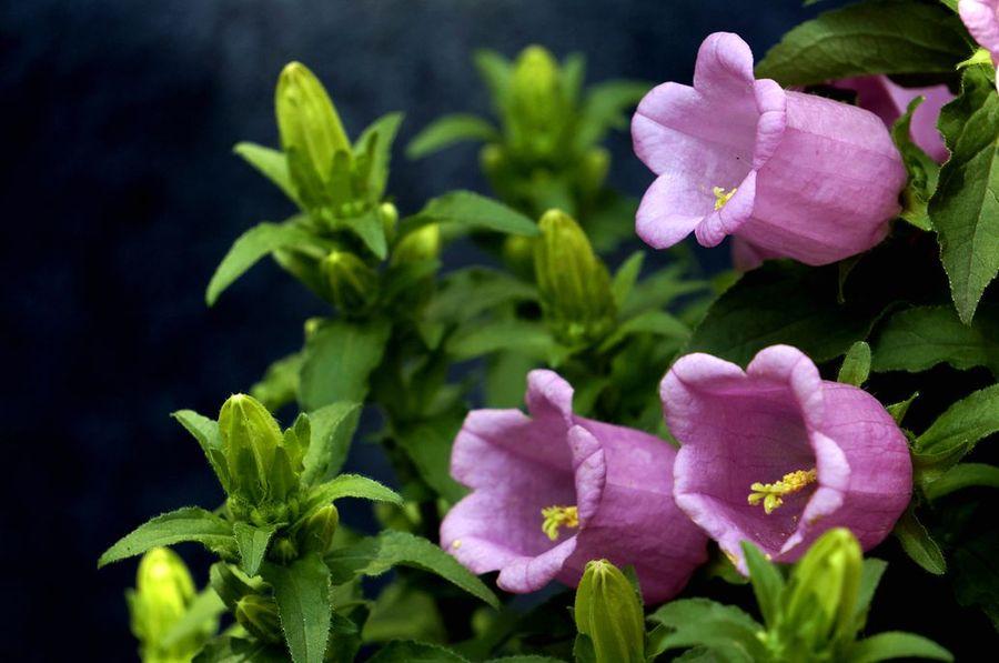 风铃草盆栽养殖方法是什么?