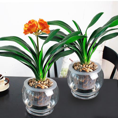 君子兰的生根方法集合在这里,君子兰很快就会长叶开花