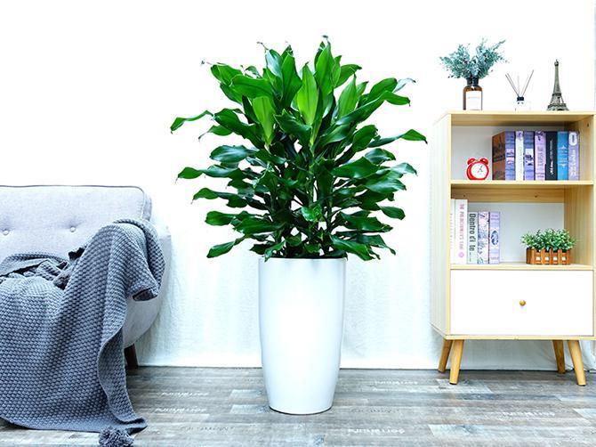 螺纹铁 5种可种在室内里的喜阴植物