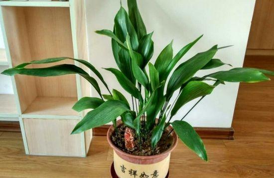 一叶兰 5种可种在室内里的喜阴植物