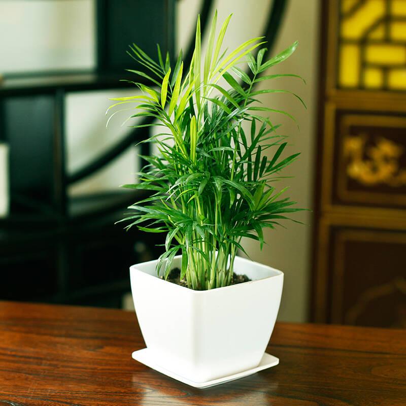 袖珍椰子 5种可种在室内里的喜阴植物