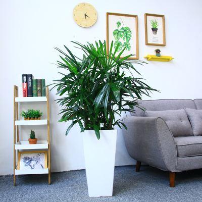 棕竹 5种可种在室内里的喜阴植物