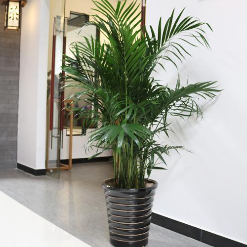 凤尾竹 凤尾竹的养殖方法和注意事项都有哪些