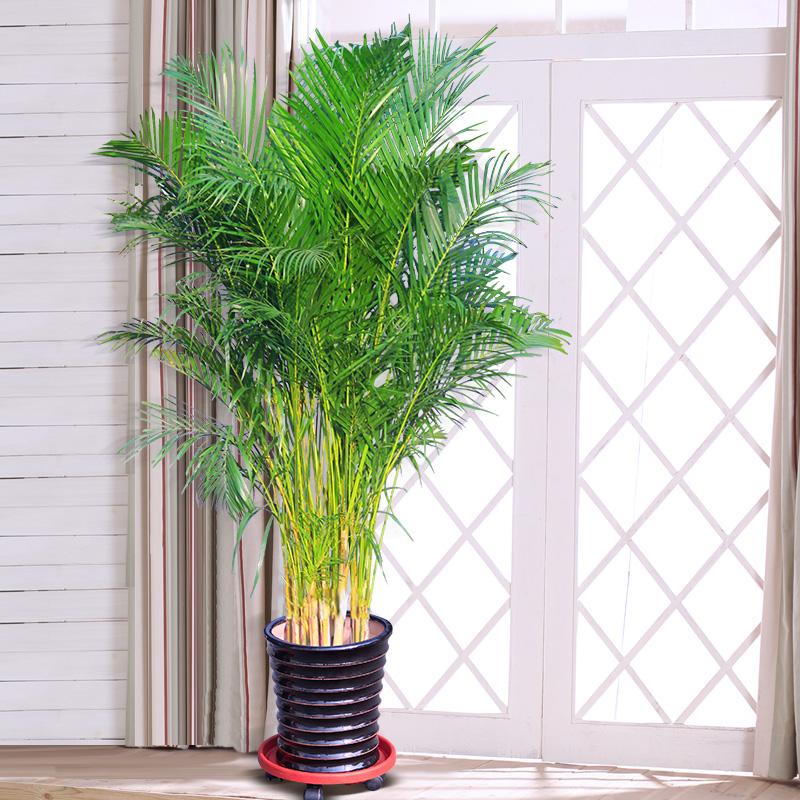 凤尾竹的养殖方法和注意事项都有哪些