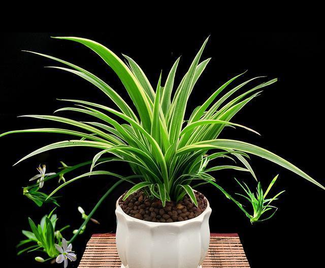 吊兰 有多少人知道单子叶植物种类有多少