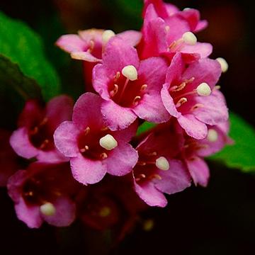 海仙花百科資料